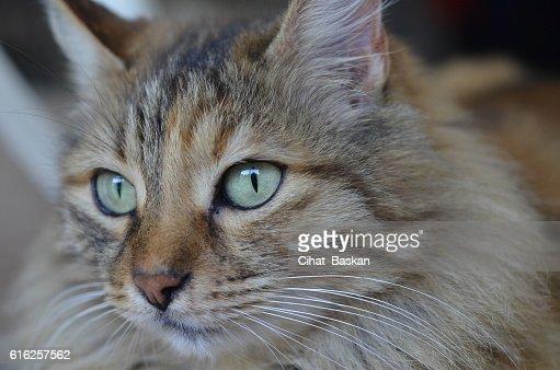Portrait of tabby cat with green eyes : Foto de stock
