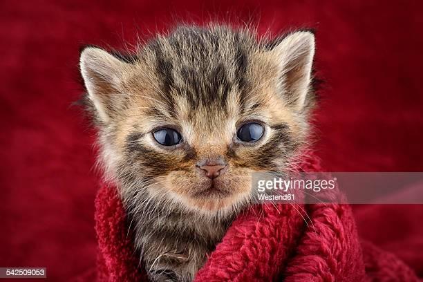 Portrait of tabby kitten, Felis Silvestris Catus, in front of red background