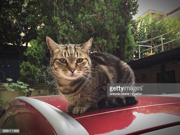 Portrait Of Tabby Sitting On Car Roof