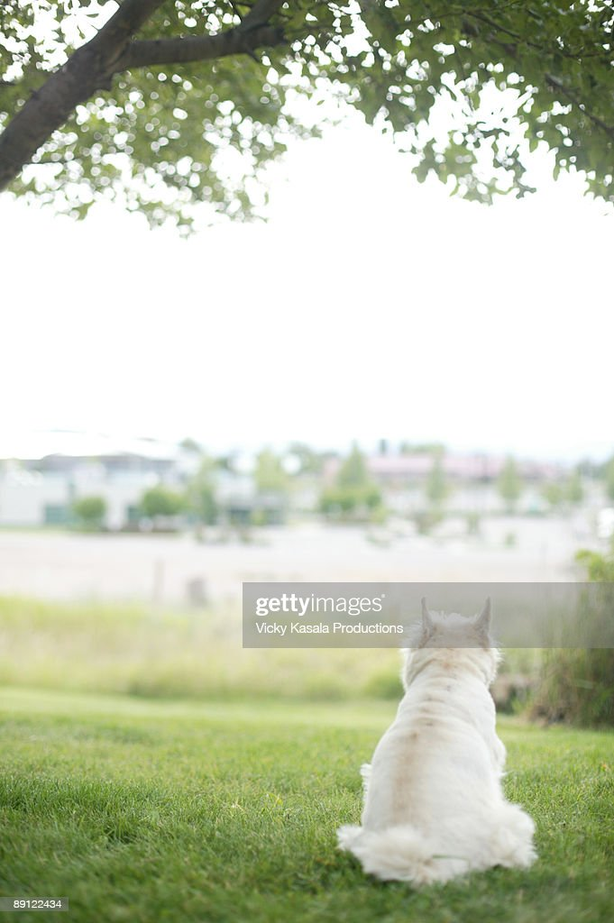 portrait of terrier looking out at horizon : Stock Photo