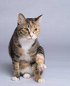 Portrait of the young calico cat