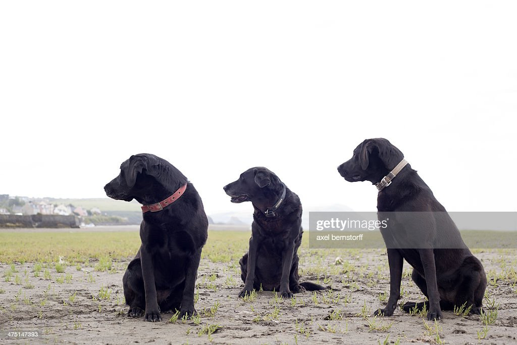 Portrait of three black labradors looking in same direction : Stock Photo