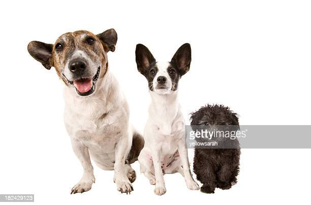 Portrait of three dogs isolated on white