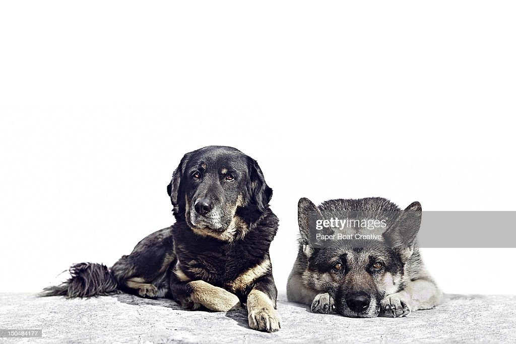 portrait of two black and brown dogs : Stock Photo
