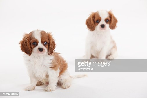 Portrait of two Cavalier King Charles Spaniel puppies on white ground