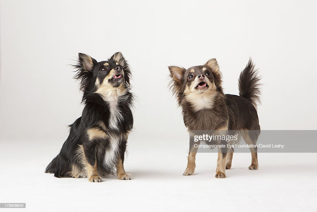 Portrait of two Chihuahuas : Stock Photo