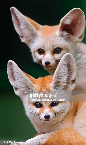Portrait of two fennec foxes