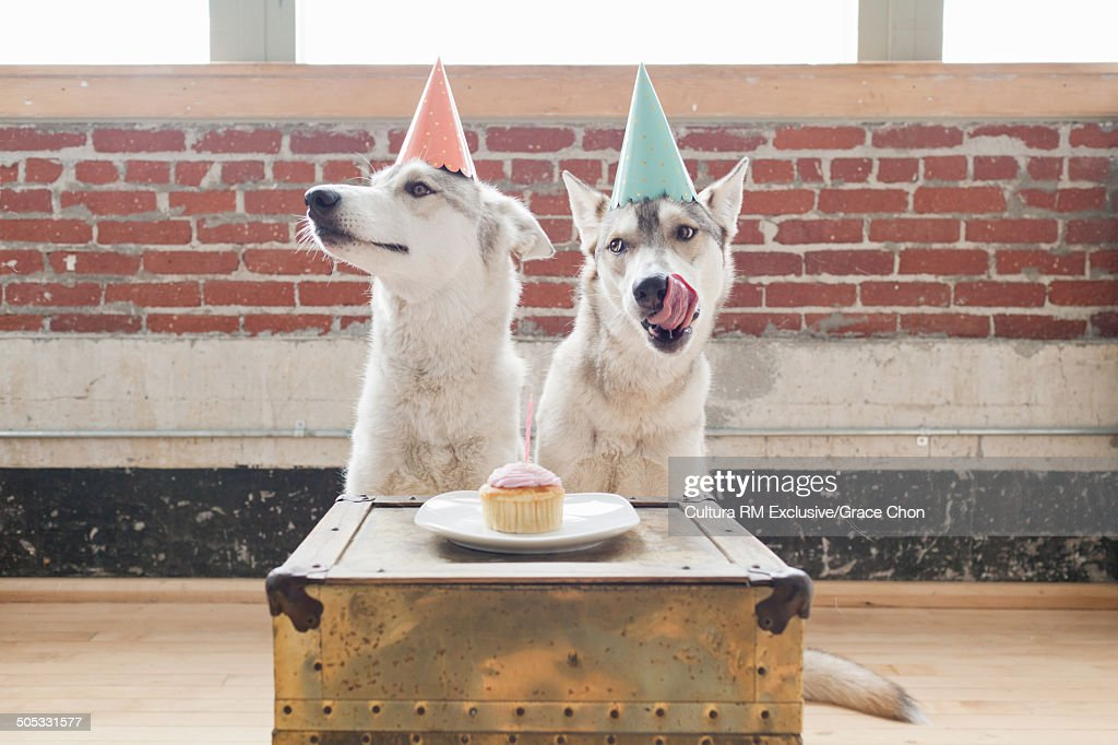 Portrait of two husky dogs in party hats waiting to eat cupcake