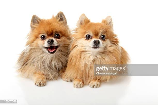 Portrait of two little dogs