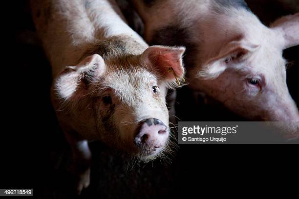 Portrait of two pigs on their corral