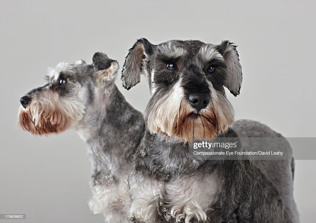 Portrait of two Schnauzers : Stock Photo