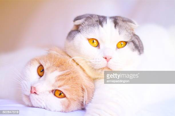 Portrait of two Scottish Fold cats lying on a bed together
