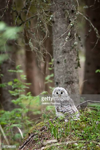 Portrait of ural owl