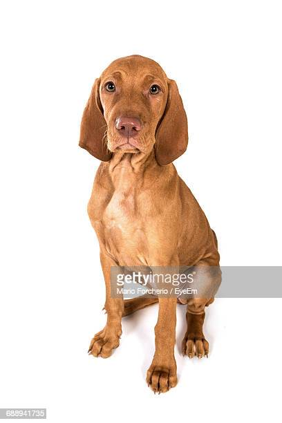 Portrait Of Vizsla Puppy Sitting Against White Background