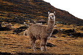 close up of an alpaca staying next to a street in front of a herd on a dry meadow in the peruvian anden