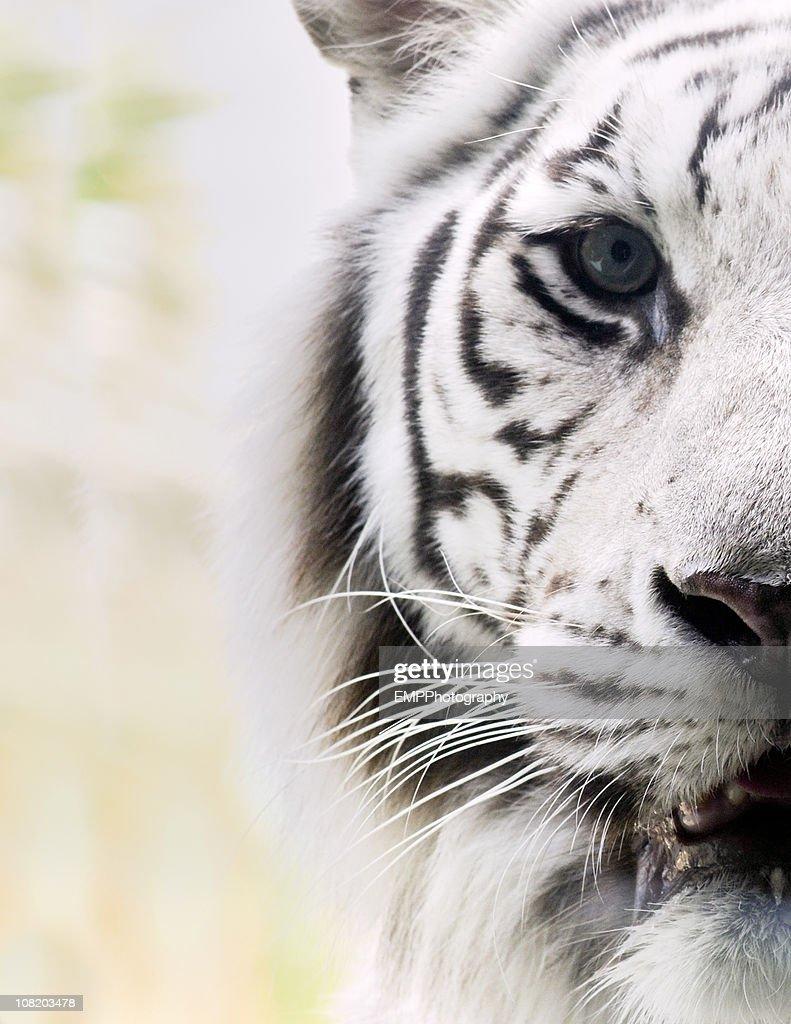 Portrait of White Bengal Tiger : Stock Photo