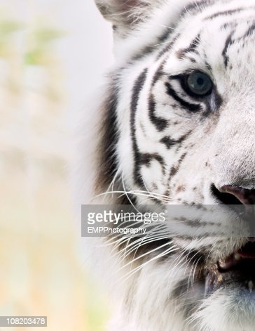 Portrait of White Bengal Tiger : Stock Photo