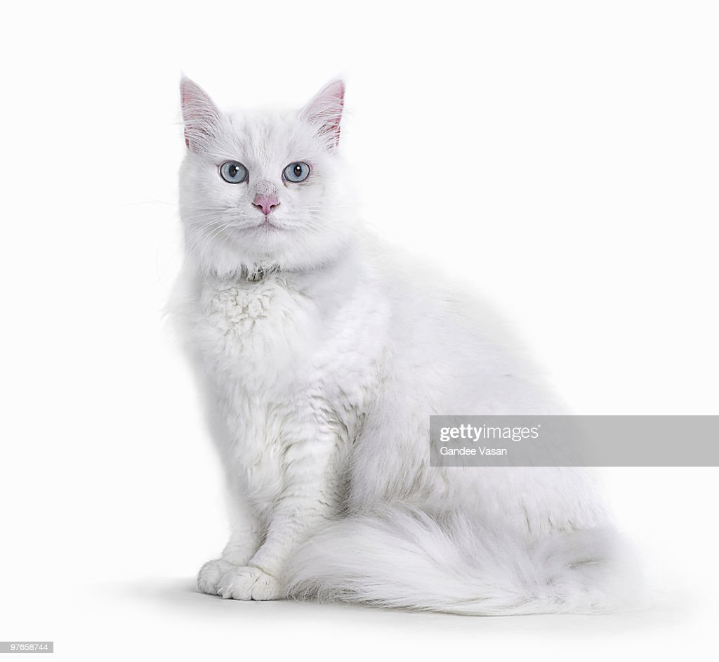 Portrait of White Cat : Stock Photo