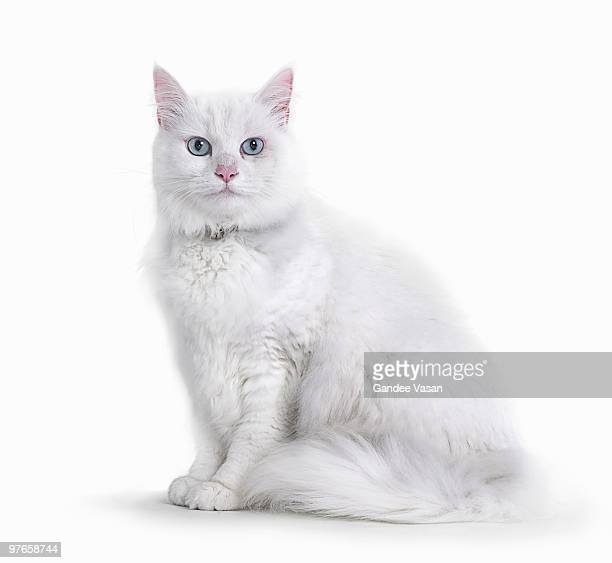 Portrait of White Cat