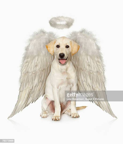 Portrait of white Labrador retriever wearing angel costume