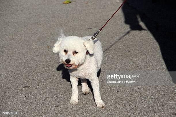 Portrait Of White Miniature Poodle With Leash Walking On Street
