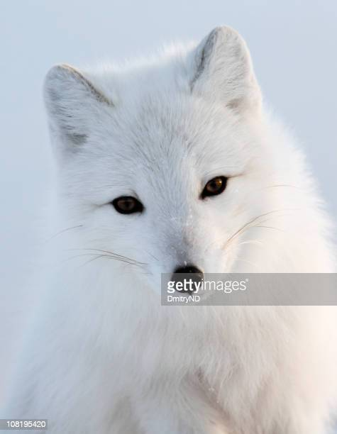 Portrait of White Polar Fox