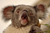Portrait of koala winking and putting out her tongue.