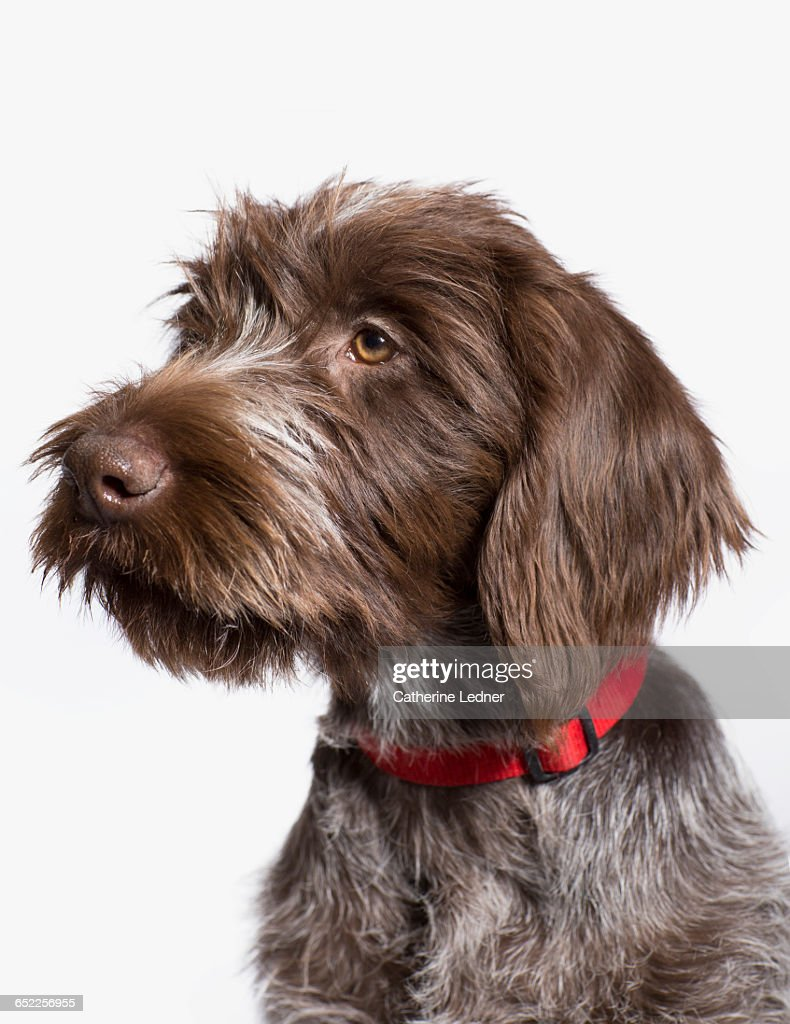 portrait of wire haired griffon dog