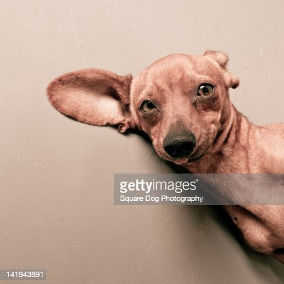 Portrait of wired dog : Stock Photo