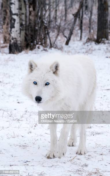 Portrait Of Wolf Walking On Snow Covered Field
