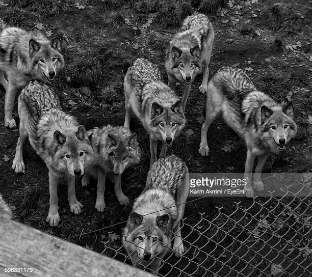 Portrait Of Wolves Standing By Chainlink Fence In Zoo