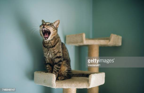 Portrait of yawning cat sitting on scratching post