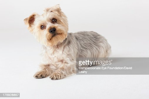 Portrait of Yorkshire Terrier looking at camera