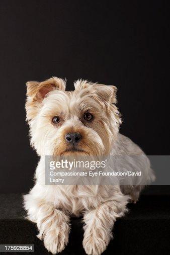 Portrait of Yorkshire Terrier lying down