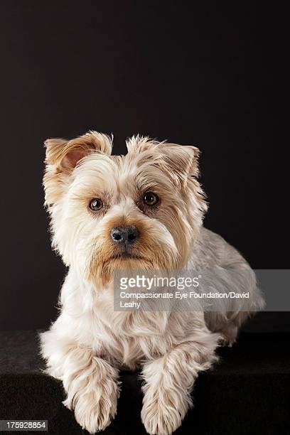 Portrait of Yorkshire Terrier lying down