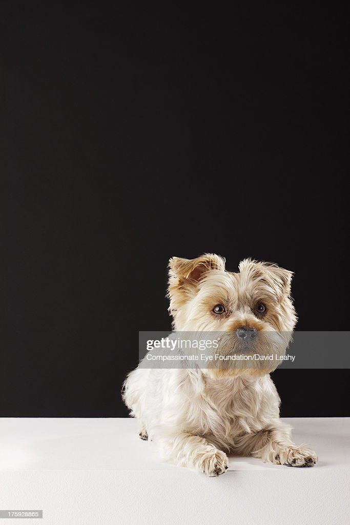 Portrait of Yorkshire Terrier lying down : Stock Photo
