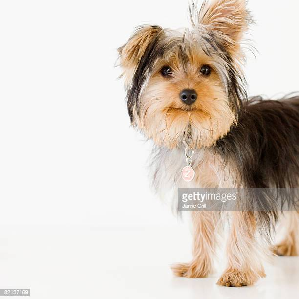 Portrait of Yorkshire terrier