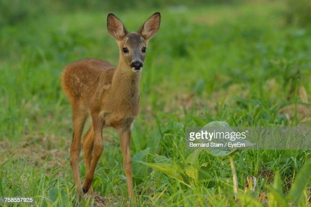 Portrait Of Young Deer On Field