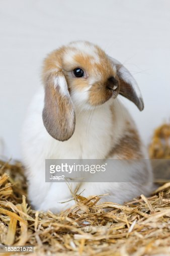 Portrait of young domestic rabbit sitting on straw