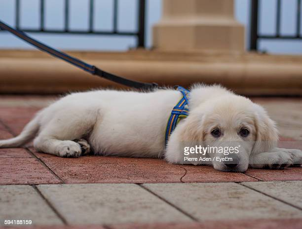 Portrait Of Young Labrador Retriever Relaxing On Footpath