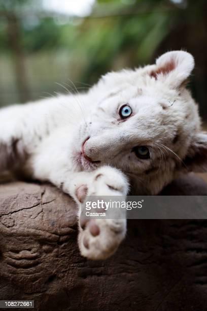 Retrato de jovem Tigre-de-bengala branco