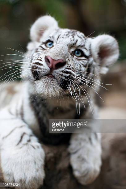 Portrait of Young White Bengal Tiger