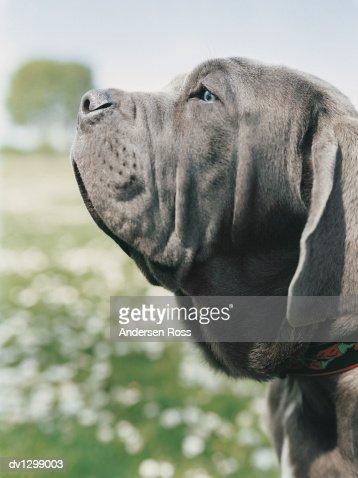 Portrait Profile of a Mastiff