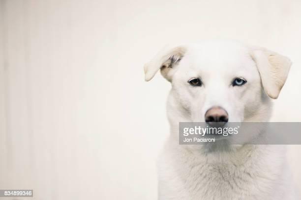 Portrait White Husky Mixed Breed on a White Backdrop