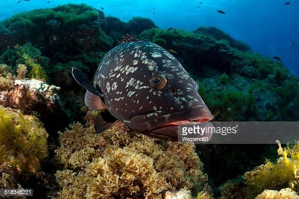 Portugal, Azores, Santa Maria, Atlantic Ocean, Dusky Grouper