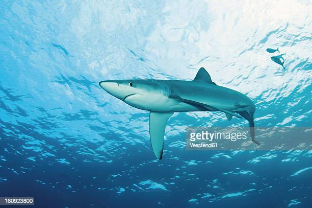 Portugal, Blue shark with pilot fish in Azores