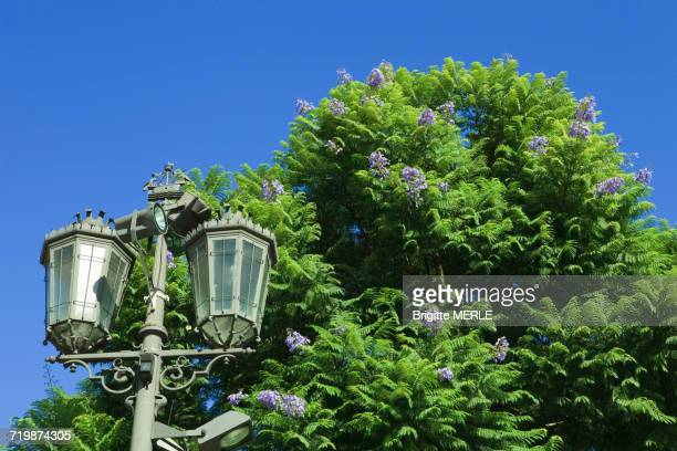 Portugal, Lisbon, Fern tree (Jacaranda mimosifolia), and lamppost topped by the Lisbonne coat of arms