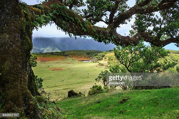 Portugal, Madeira, laurel tree on Fanal plateau