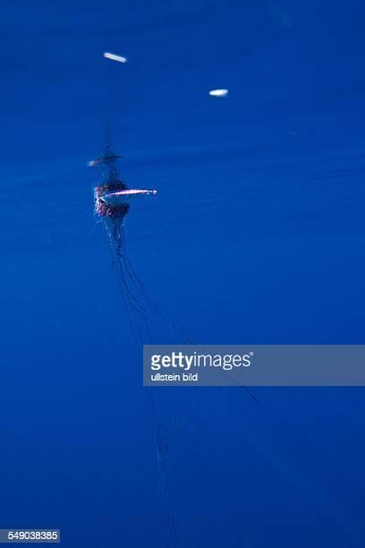Portuguese Man of War Physalia physalis Azores Atlantic Ocean Portugal
