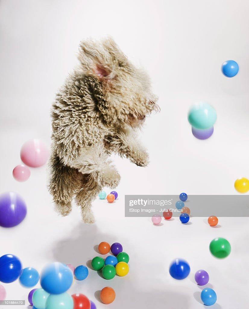 A Portuguese Waterdog jumping amongst falling colored balls